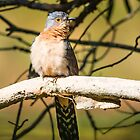 Fan Tailed Cuckoo by Pete Evans