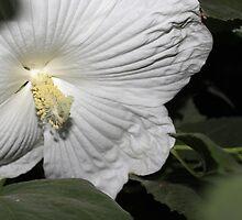 White Hibiscus by aprilann