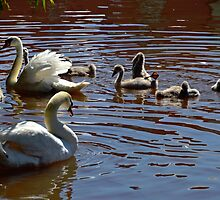 Family Of Swans......... by lynn carter