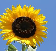 Cyprus Sunflower by terrierdog