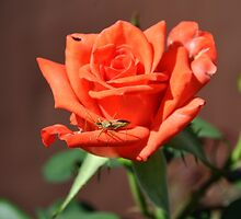 CRICKET AND RED ROSE 2 by JAYMILO