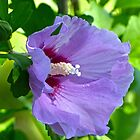 Rose of Sharon by Susan S. Kline