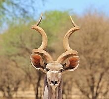 Kudu - African Wildlife Background - Spiral Beauty by LivingWild
