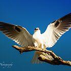 Black Shouldered Kite by Pete Evans