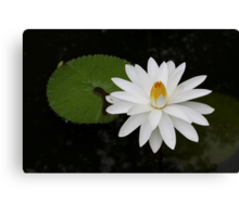 Night blooming water lily Canvas Print