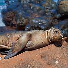 Ecuador. Galapagos Islands. Baby Seal. Afternoon Nap. by vadim19
