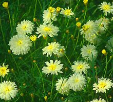 White and yellow daisies by ndarby1