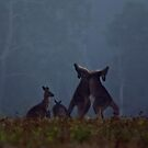 Boxing Kangaroos in farmland near Maclean by myraj