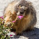 The marmot who inspects flowers by Anthony Brewer