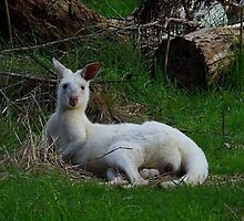 Albino Kangaroo by hurky