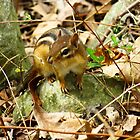 Eastern Chipmunk Chilling On A Rock by SRowe Art