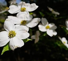 Dogwood by andreajean