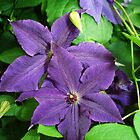 Purple Clematis by charmedy
