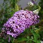 Butterfly Bush by charmedy