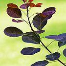 Leaves - Purple Smoke Bush by T.J. Martin