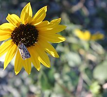 Kansan Sunflower and Moth by Jariddoerr