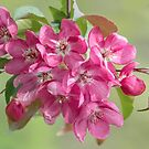 Crabapple Blossoms by Gerda Grice