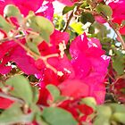 Pillow - Bougainvillea Display by Francis Drake