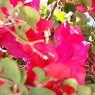 Phone Case - Bougainvillea Display by Francis Drake
