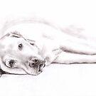 Tired Labrador Retriever by Nicole Zeug
