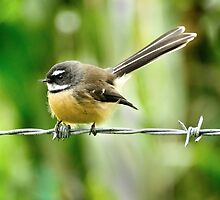 Bird on a wire, Akaroa by Colin White