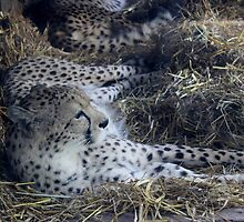 cheetah asleep  by jaoxley