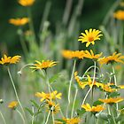 Bits of sunshine growing wild by WalnutHill
