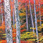 SYCAMORE,AUTUMN by Chuck Wickham