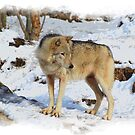 Grey Wolf in Snow Winter Scene by Val  Brackenridge