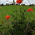Poppies by emanon