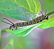 Someday I'll be a Monarch Butterfly but today I don't know which end is up by Lanis Rossi