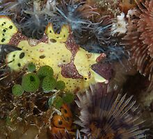 Warty Frogfish by Mark Rosenstein