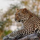 Lounging Leopard  by Vanessa  Hayat