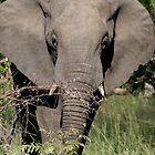 Elephant Ears by Vanessa  Warren