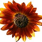 Brown Sunflower  by hootonles
