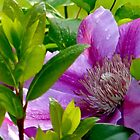 Clematis 2 by lynn carter