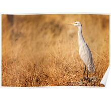 Egret on the lookout Poster