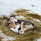 Husky dog licks it wounds by Andrey Serdyuk