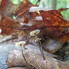 Mushrooms on a Leaf by ChuckBuckner