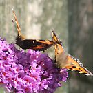 Butterflies on Budlea in the Garden by AnnDixon