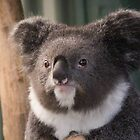 Sir Koala - Featherdale Wildlife Park by Andrew Dodds