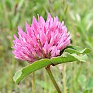 Pink Clover by AnnDixon