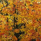 Sugar Maple (Acer saccharum) by Marilyn Harris