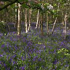 Silver Birch & Blue Bells by carolhynes