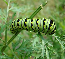 Tiger Swallowtail Caterpillar  by StarryGardens
