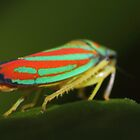 Scarlet-and-green Leafhopper  by Kane Slater
