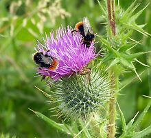 Buzzy Bees on a Thorny Thistle by lisa1970