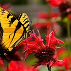 Tiger Swallowtail by NatureGreeting Cards ©ccwri
