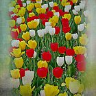 Tulips in a Field by GalleryThree
