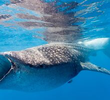 Whale Shark Profile by jdornheggen